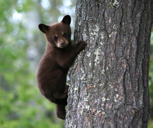 Bear Hugger