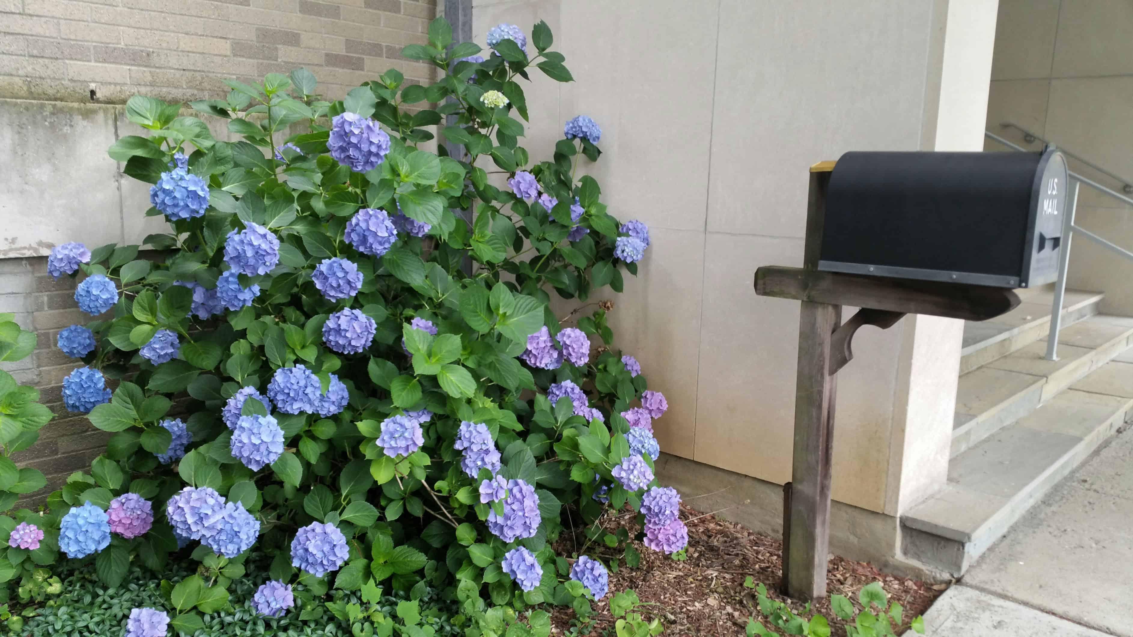 Hydrangeas and Mailbox